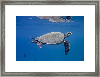 Maui Sea Turtle Deep Blue Framed Print