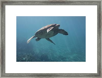Maui Sea Turtle Dives Framed Print