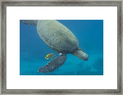 Maui Sea Turtle Dives To Cleaning Station Framed Print