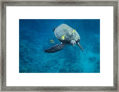 Maui Sea Turtle Faces Us Framed Print