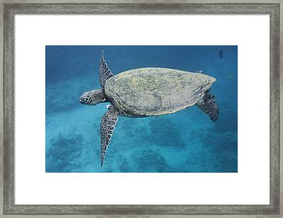 Maui Sea Turtle Flying Framed Print