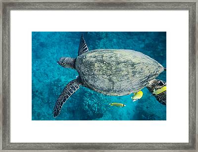 Maui Sea Turtle Flys In To A Cleaning Station Framed Print