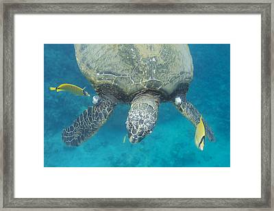 Maui Sea Turtle Gets Cleaned Framed Print
