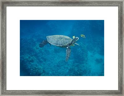 Maui Sea Turtle Head Up Cleaning Framed Print