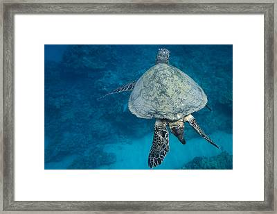 Maui Sea Turtle Passes By Framed Print
