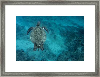 Framed Print featuring the photograph Maui Sea Turtle Scouts For A Spot by Don McGillis