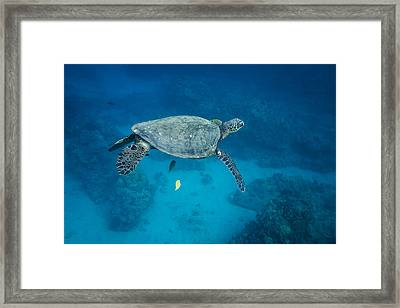 Maui Sea Turtle Suspended With Tail Tucked Framed Print