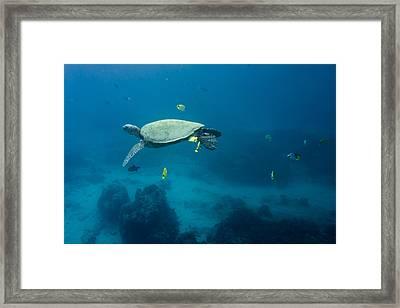 Maui Sea Turtle Suspened At Cleaning Station Framed Print