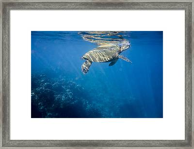 Maui Sea Turtle Takes A Breath At The Surface Framed Print