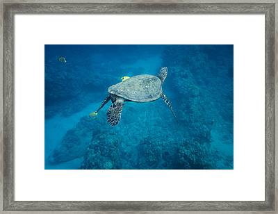 Maui Sea Turtle Tucks His Tail For Cleaning Framed Print