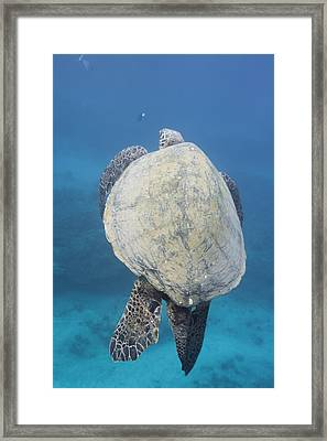 Maui Sea Turtle Vertical Framed Print