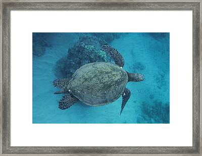 Maui Sea Turtles From Above Framed Print