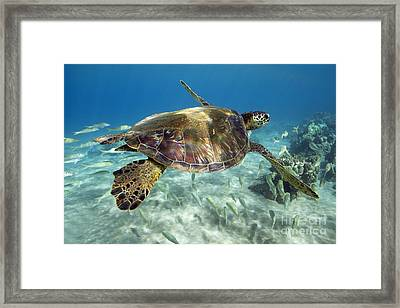 Maui Turtle Framed Print