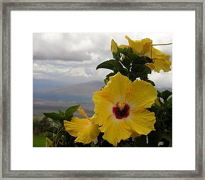 Maui Yellow Hibiscus Framed Print by Robert Lozen