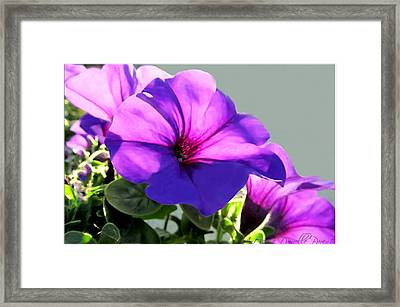 Mauve Petunia Trio Framed Print by Danielle  Parent
