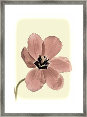 Mauve Tulip Transparency Framed Print