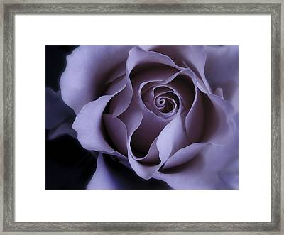 May Dreams Come True - Purple Pink Rose Closeup Flower Photograph Framed Print by Artecco Fine Art Photography