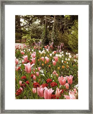 May Tulips Framed Print