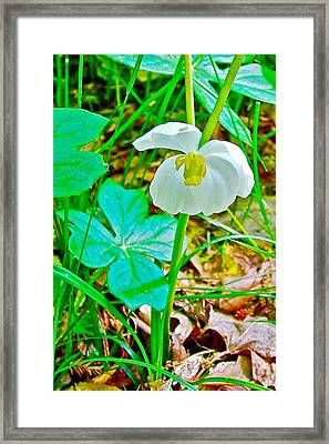 Mayapple In Donivan Slough At Mile 283 Of Natchez Trace Parkway-mississippi  Framed Print by Ruth Hager