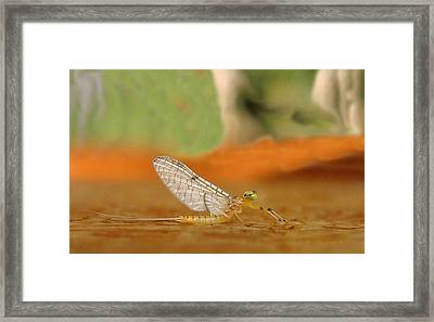 Mayfly Art Framed Print by Thomas Young