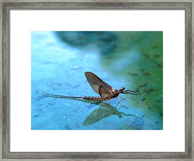 Mayfly Reflected Framed Print by Thomas Young