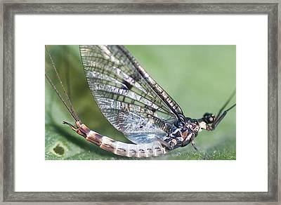 Mayfly Framed Print by Richard Thomas