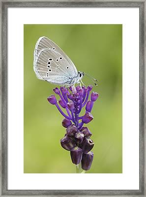 Mazarine Blue Butterfly Dordogne France Framed Print by Silvia Reiche