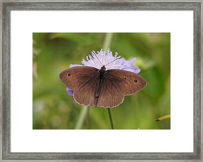 Meadow Brown Butterfly Framed Print