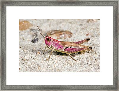 Meadow Grasshopper Framed Print by Bob Gibbons