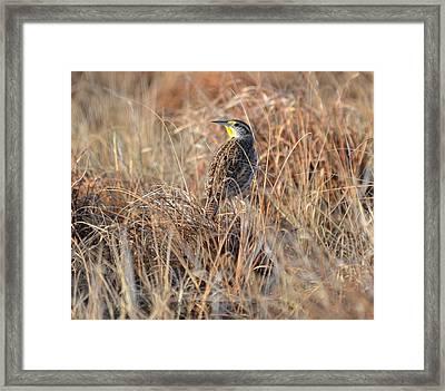 Meadowlark In Grass Framed Print