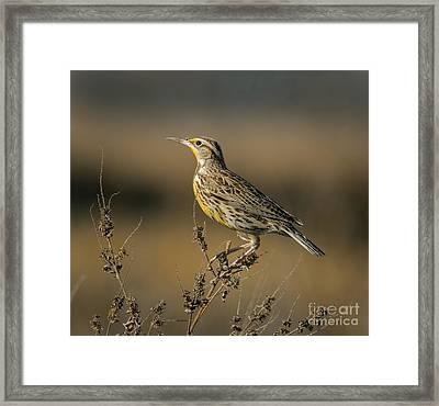 Meadowlark On Weed Framed Print by Robert Frederick
