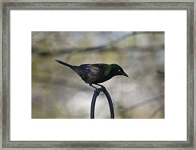 Mean Mr. Grackle Framed Print by Ross Powell