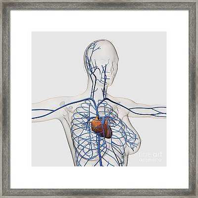 Medical Illustration Of Circulatory Framed Print by Stocktrek Images