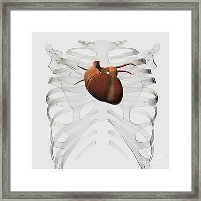 Medical Illustration Of Human Heart Framed Print by Stocktrek Images