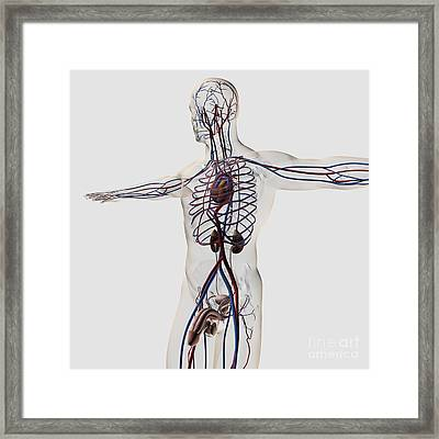 Medical Illustration Of Male Framed Print