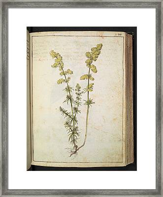 Medicinal Plant Framed Print by British Library