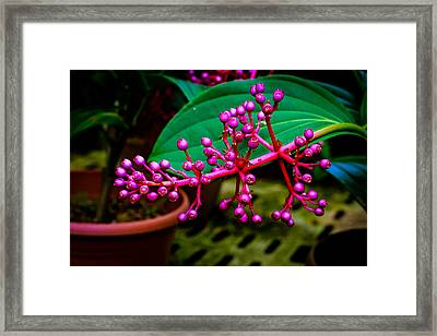 Medinilla Singapore Flower Framed Print by Donald Chen