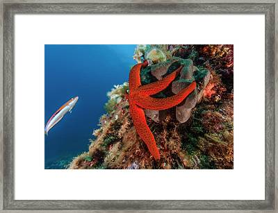 Mediterranean Red Sea Star On Reef Framed Print by Alexis Rosenfeld/science Photo Library