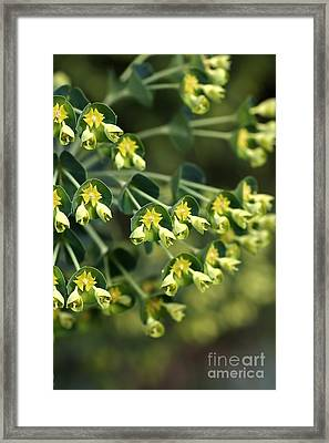 Mediterranean Spurge Framed Print by Joy Watson