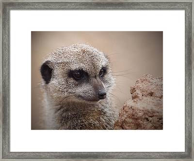 Meerkat 7 Framed Print by Ernie Echols