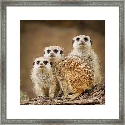 Meerkat Family Framed Print