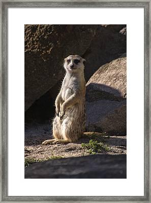 Meerkat Looking Forward Framed Print