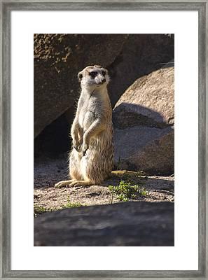 Meerkat Looking Left Framed Print