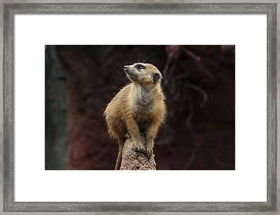 Meerkat  Framed Print by Michael Demagall