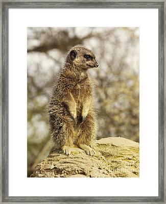 Meerkat On Hill Framed Print