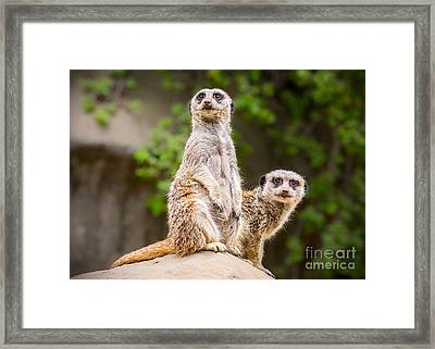 Meerkat Pair Framed Print by Jamie Pham