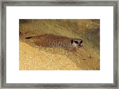 Meerkat Resting Framed Print
