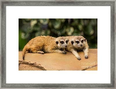 Meerkat Resting On Ground Framed Print