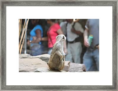 Meerket - National Zoo - 01131 Framed Print