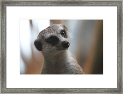 Meerket - National Zoo - 01133 Framed Print by DC Photographer